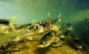 (生态)(1)湟鱼的生命之旅